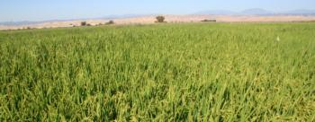 Rice field Glenn county